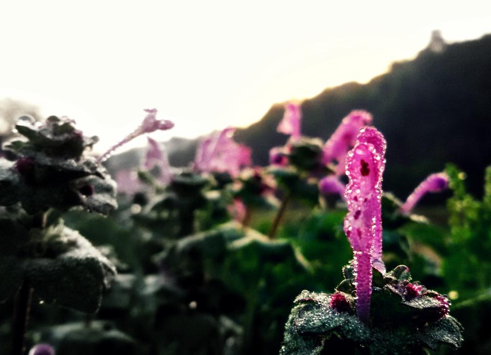 פרח להבה סגולה