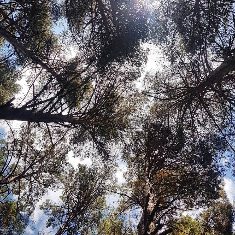 צמרות העצים במלוא תפארתם